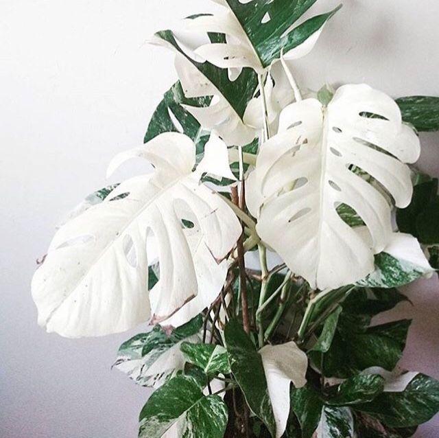 Monstera Deliciosa 'Variegata' | Gardening | Plants, Green ...