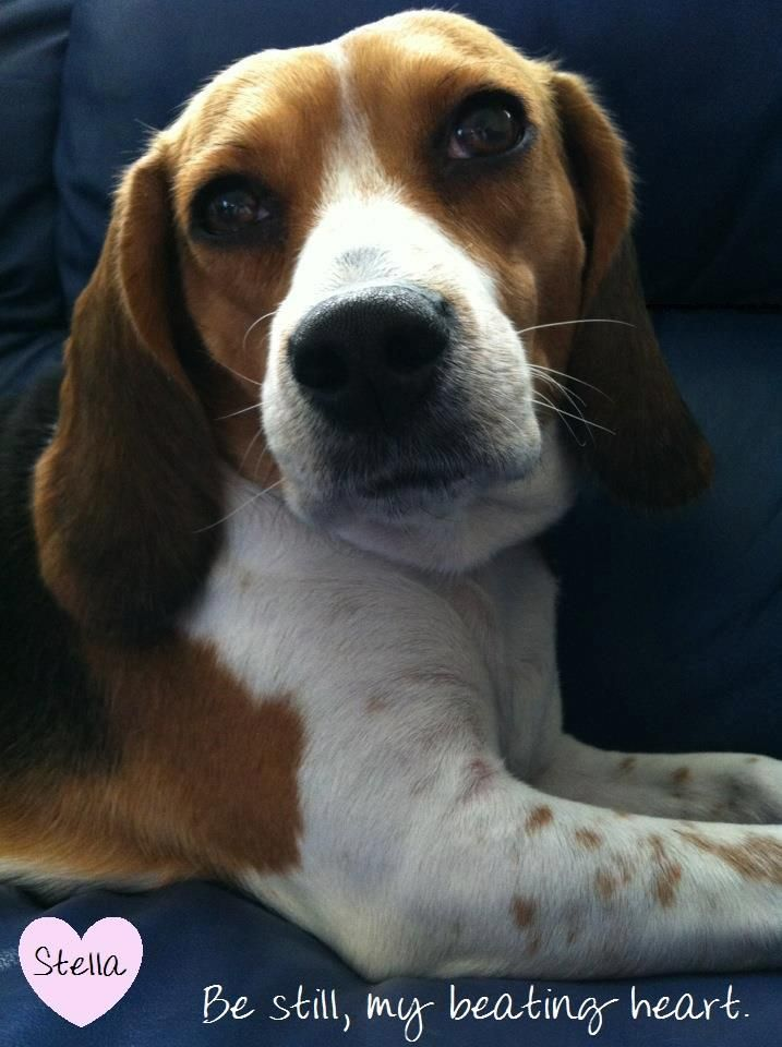 Isn T She Just Beautiful Beagle Dog Beagle Baby Beagle