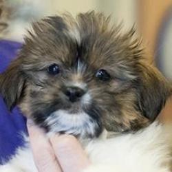 Love Bird Is An Adoptable Shih Tzu Dog In Washington Dc Fur