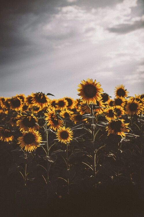 Fields of flowers #sunflowers #indie #photography ...