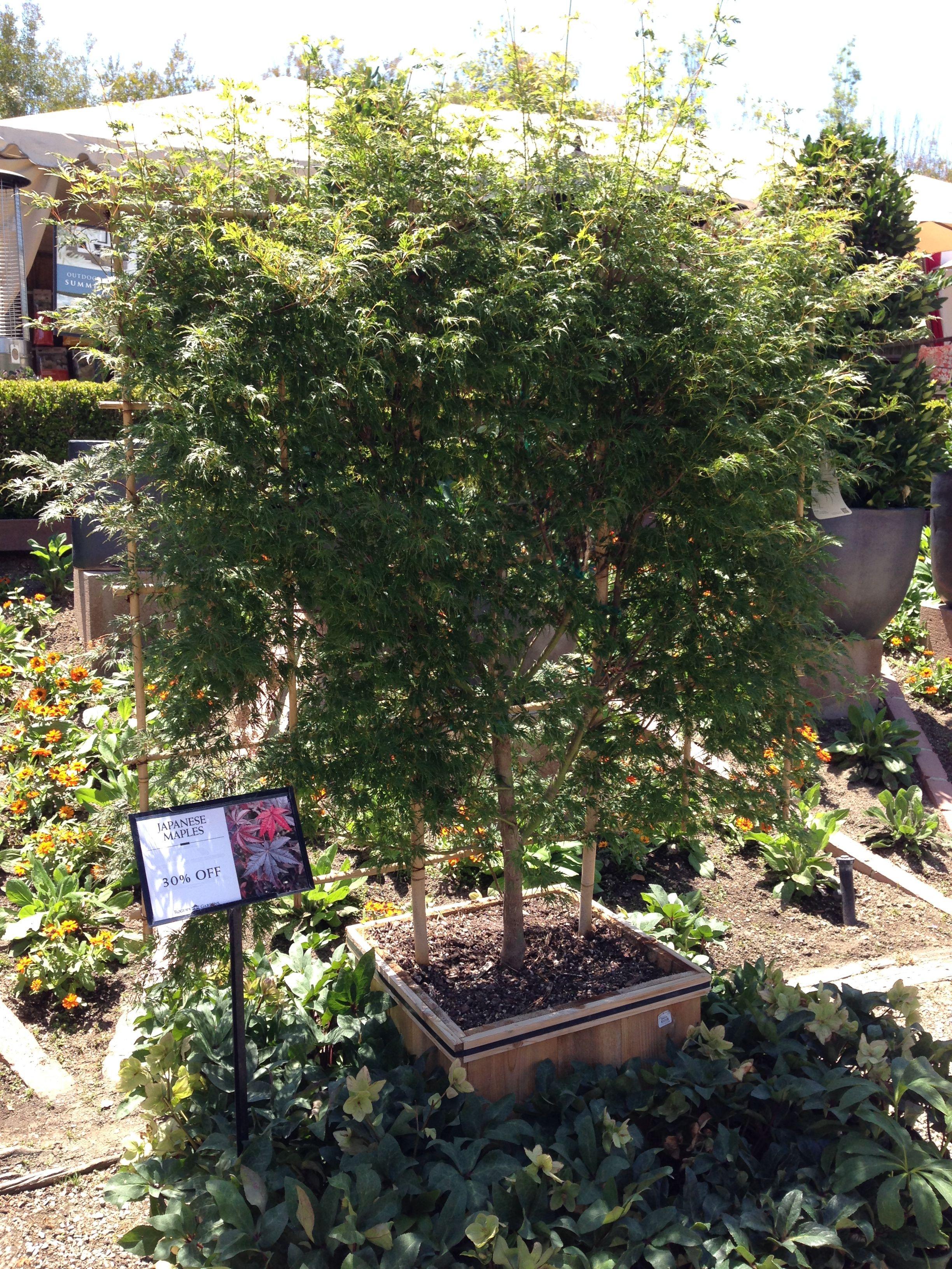Espalier Japanese Maple Tree Roger S Gardens Rogers Gardens