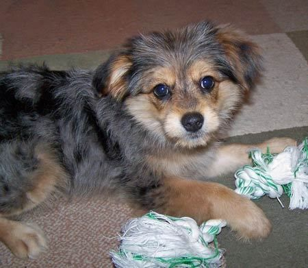 Pomeranian Yorkie Mix With Images