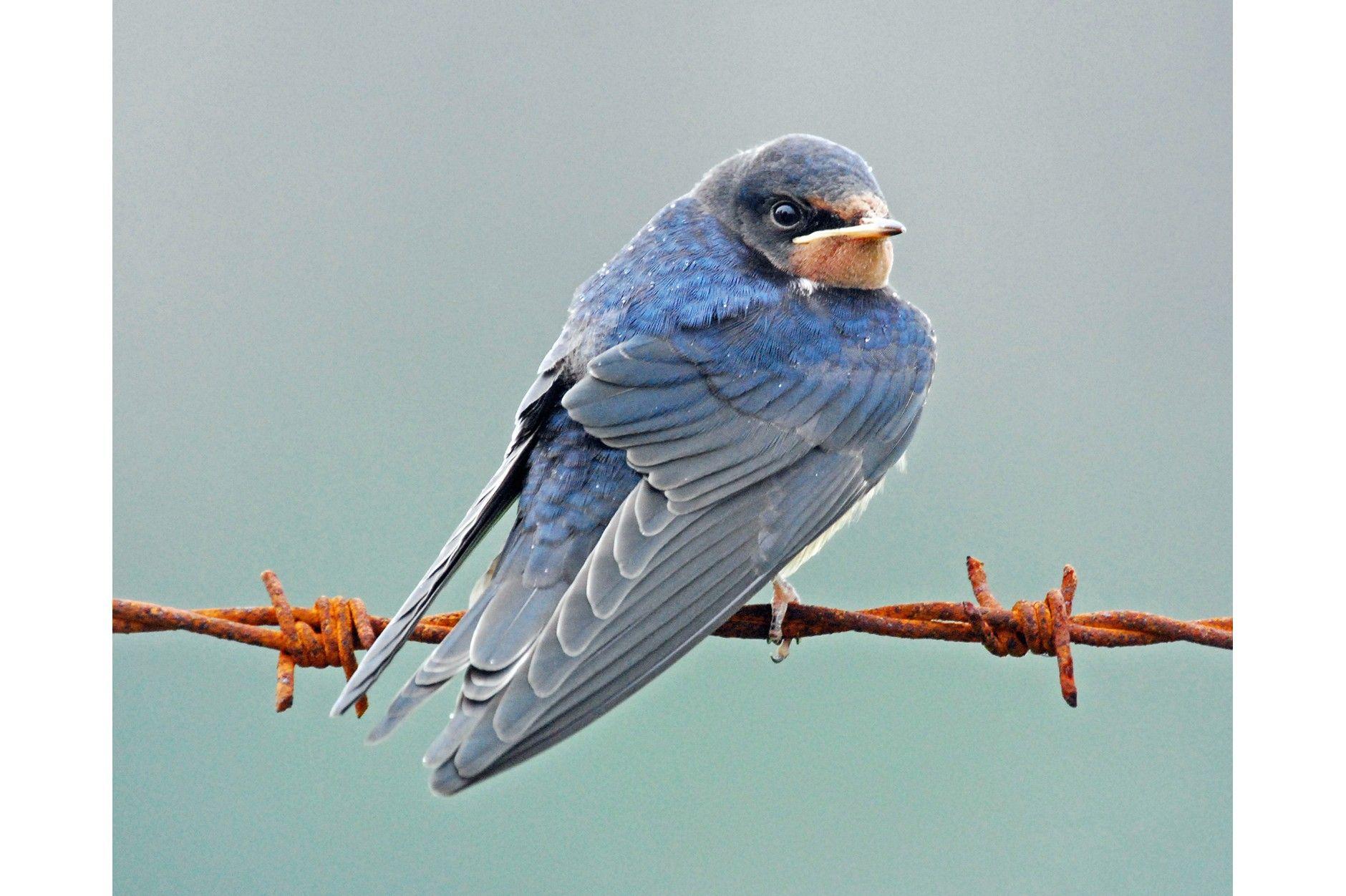 Barn Swallow | Barn swallow, Animal facts, Swallows return