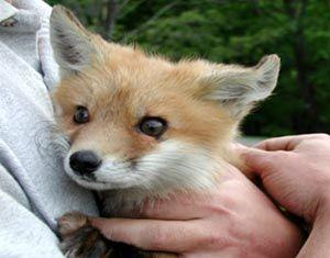 Wildlife Information: Red Fox & Gray Fox - (Vulpes vulpes)(Urocyon ...