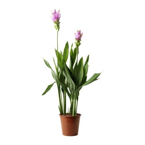 curcuma pflanze ikea gr npflanzen und bert pfe im pers nlichen stil beleben die wohnung. Black Bedroom Furniture Sets. Home Design Ideas