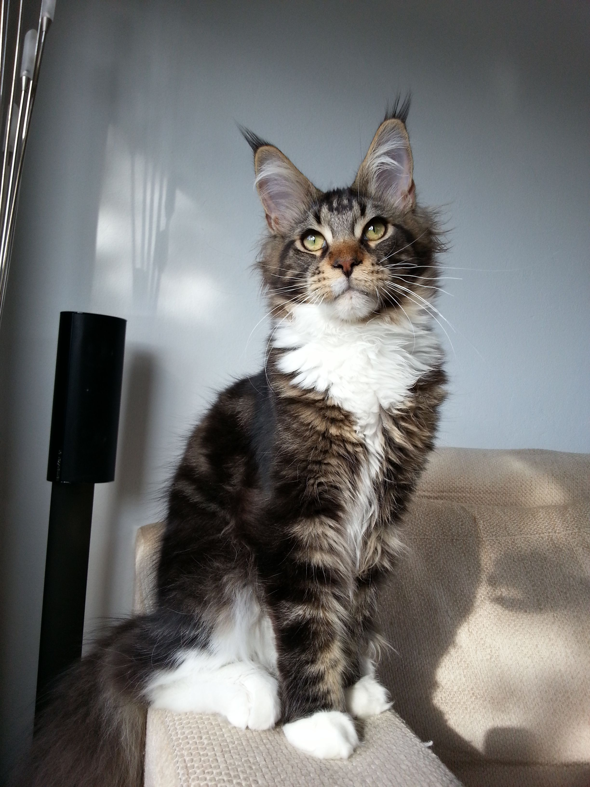 Pin Di Maine Coon Cats