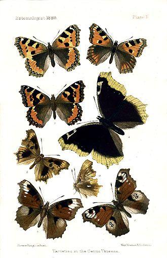 Butterflies - genus vanessa   Butterflies and Wings ...