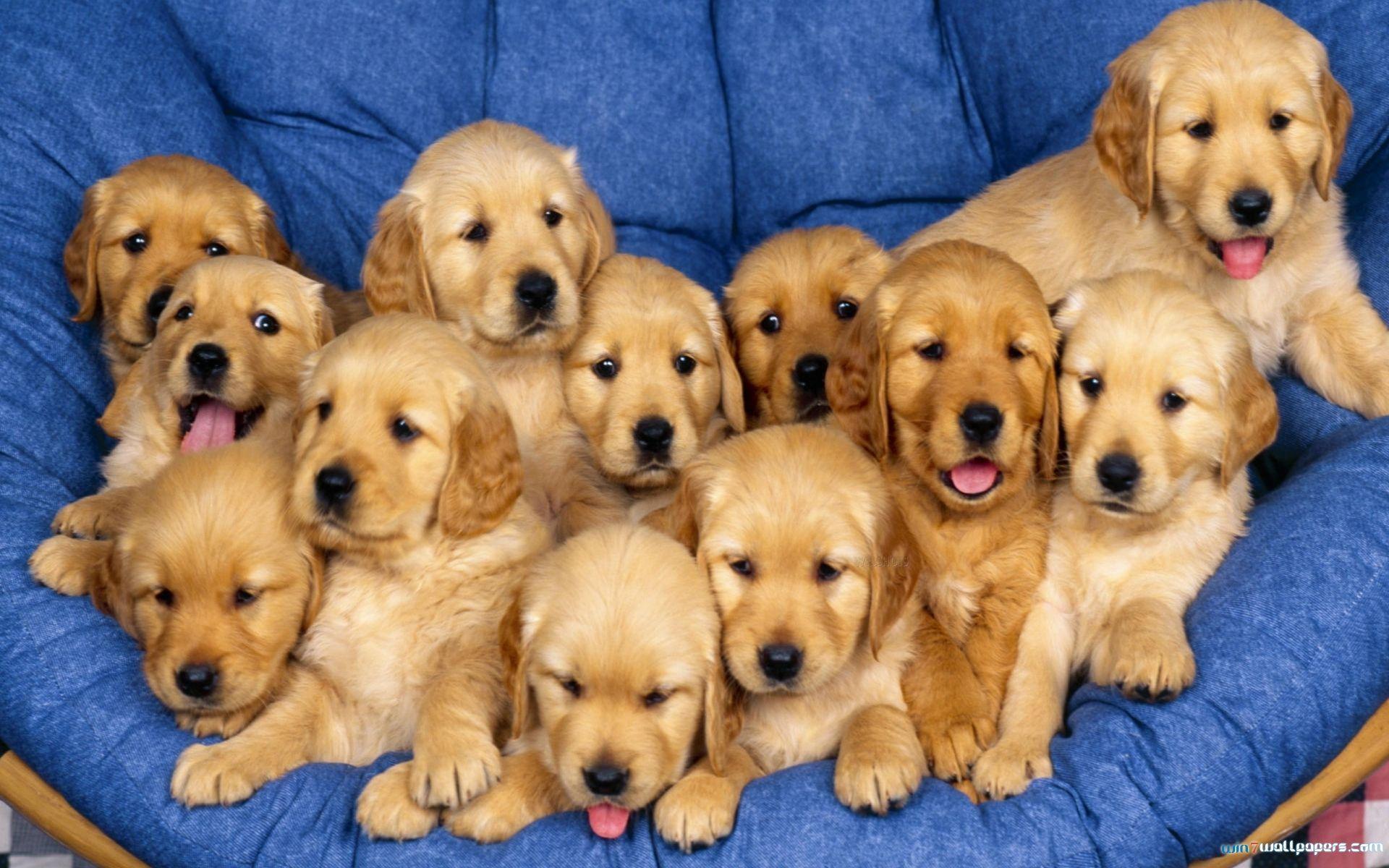 Https Www Tumblr Com Blog Muny Retriever Puppy Puppies