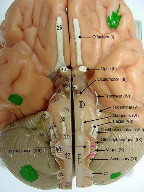 Cranialnervesonmodelslabeled Brain Model Somso Anatomy