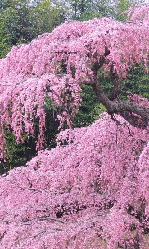 480x800 Wallpaper tree, flower, bloom, spring