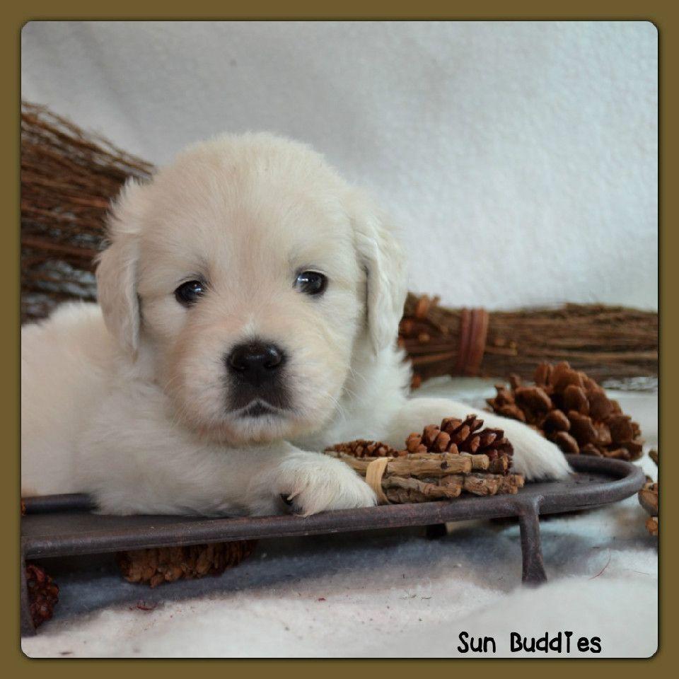 Adorable little English Cream Golden Retriever! puppy