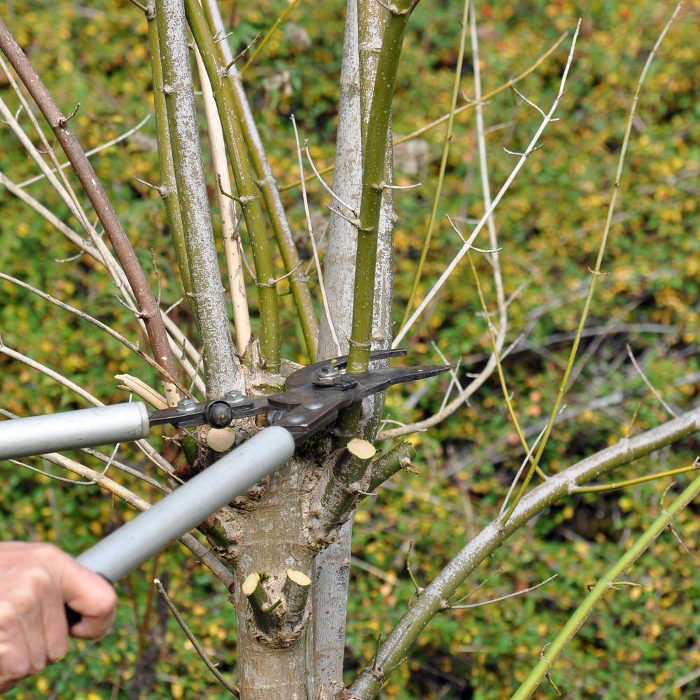 Burkwoods Duftblute Osmanthus Burkwoodii Gunstig Online Kaufen Garten Und Outdoor Pflanzen Immergrune Pflanzen