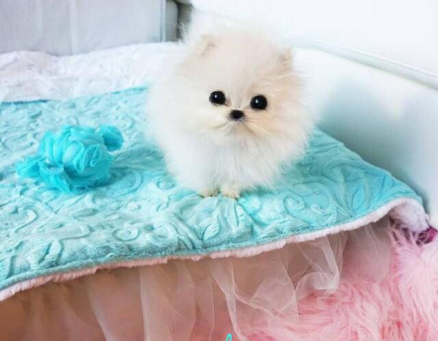 Paris Hilton Spent 13 000 On A New Dog Pomeranian Puppy I Love Dogs Dogs
