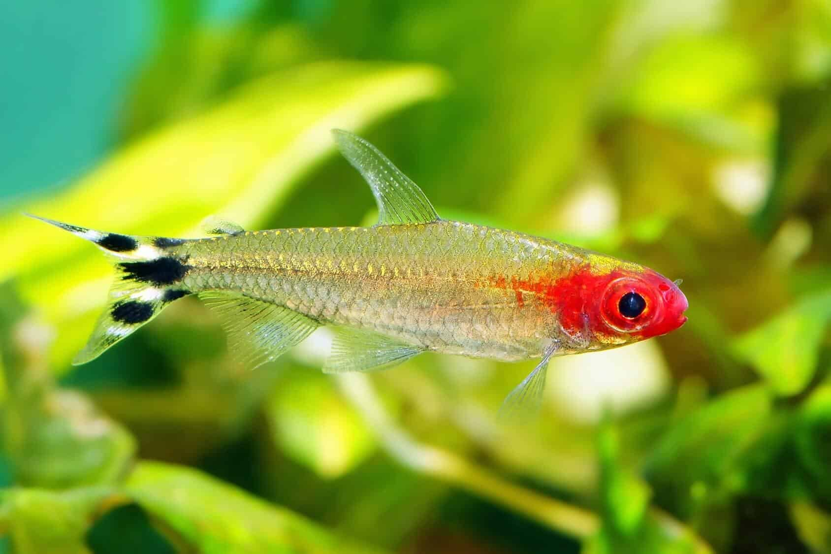 The Ultimate Rummy Nose Tetra Care Guide Breeding Tank Mates And More In 2020 Tetra Fish Care Rummy