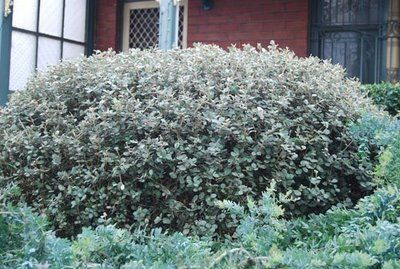 Correa Alba Pruned Into A Hedge Can Be Left To Form A Less Formal