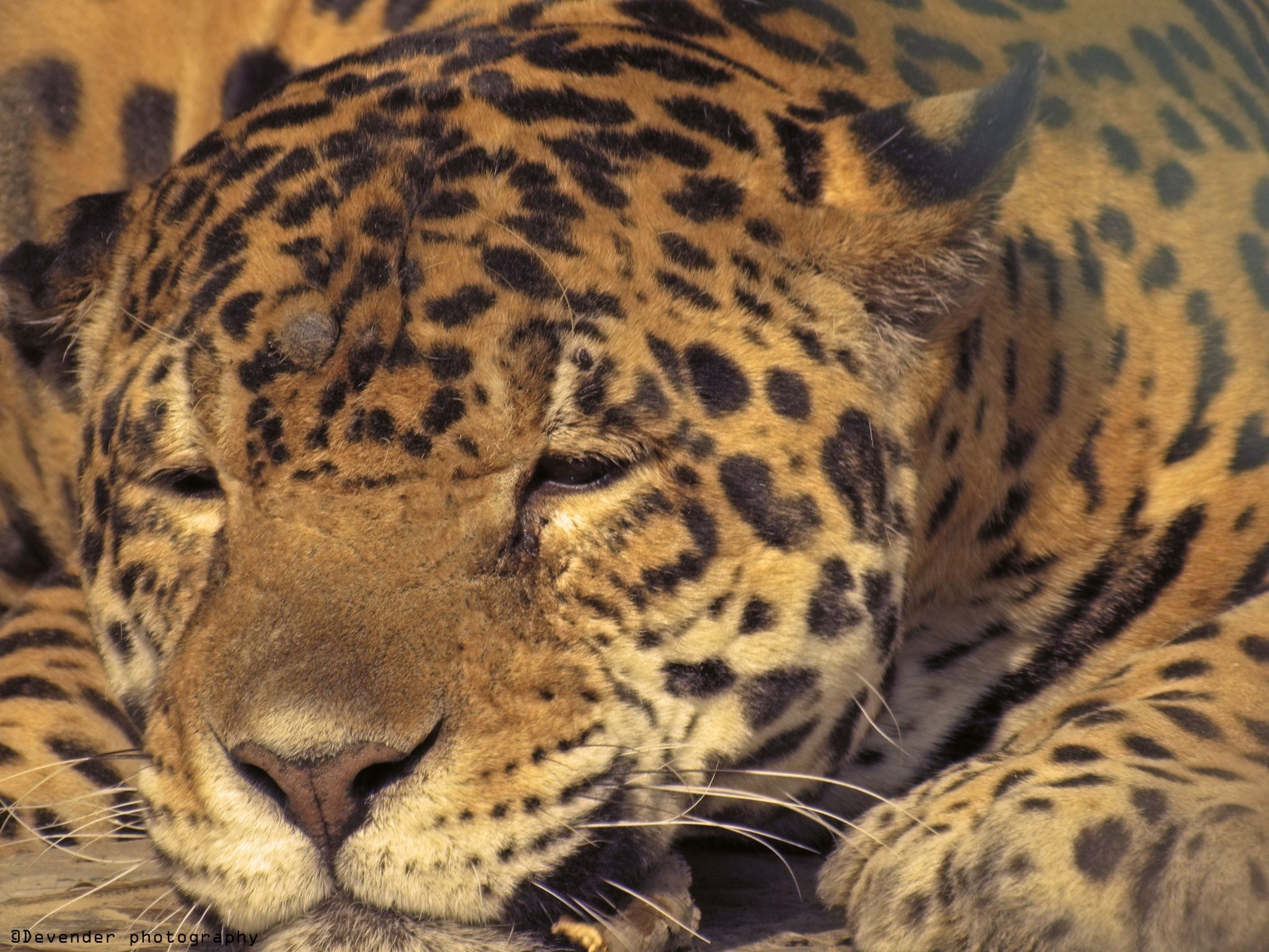 Leopard by devender meena on 500px