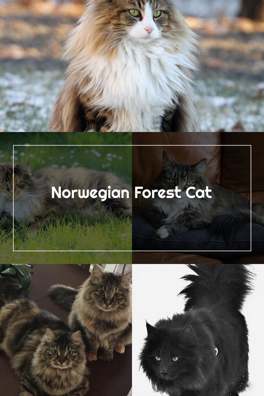 The Norwegian Forest Cat Is Strongly Built And Larger Than An Average Cat Adult Females Of The Species Will T In 2020 Norwegian Forest Cat Norwegian Forest Forest Cat