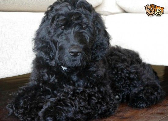 Flatcoat X Poodle Puppies We Call Them Floodles Puppies