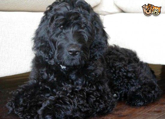 My beautiful Floodle (flat coat retriever poodle) | Flat