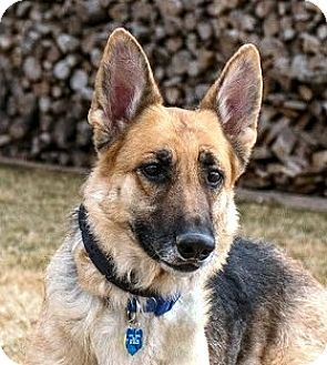 Denver Co German Shepherd Dog Meet Molly A Dog For Adoption