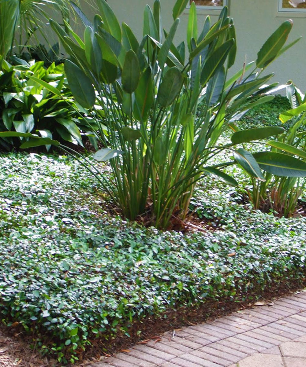 Asian Plants For Sale Live Asiatic Jasmine Ground Cover Products Jasmine Ground