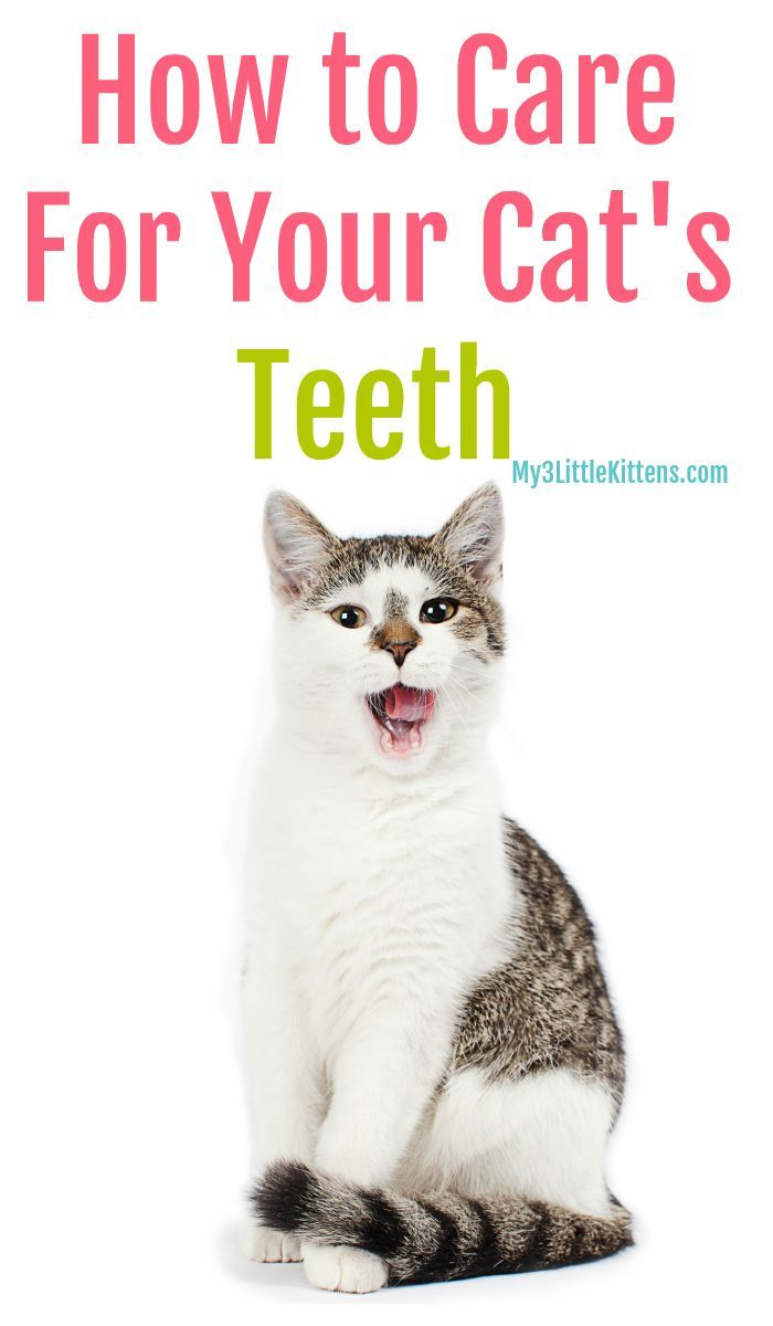 How To Care For Your Cat S Teeth Cat Care Cats Cat Care Tips
