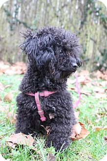 Pin By Kelsey Dempsey On Aww Pets Poodle Dogs