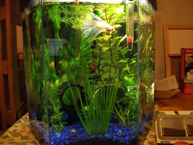 A Pretty Betta In A Heated 5 Gallon Tank With Lots Of