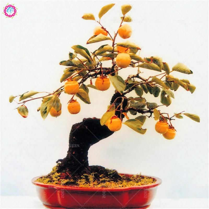 5pcs Loquat Tree Seeds Bonsai Fruit Seeds Sweet Perennial Plants Indoor Potted For Spring Home Farm Sementes Best Packa Tree Seeds Loquat Tree Perennial Plants