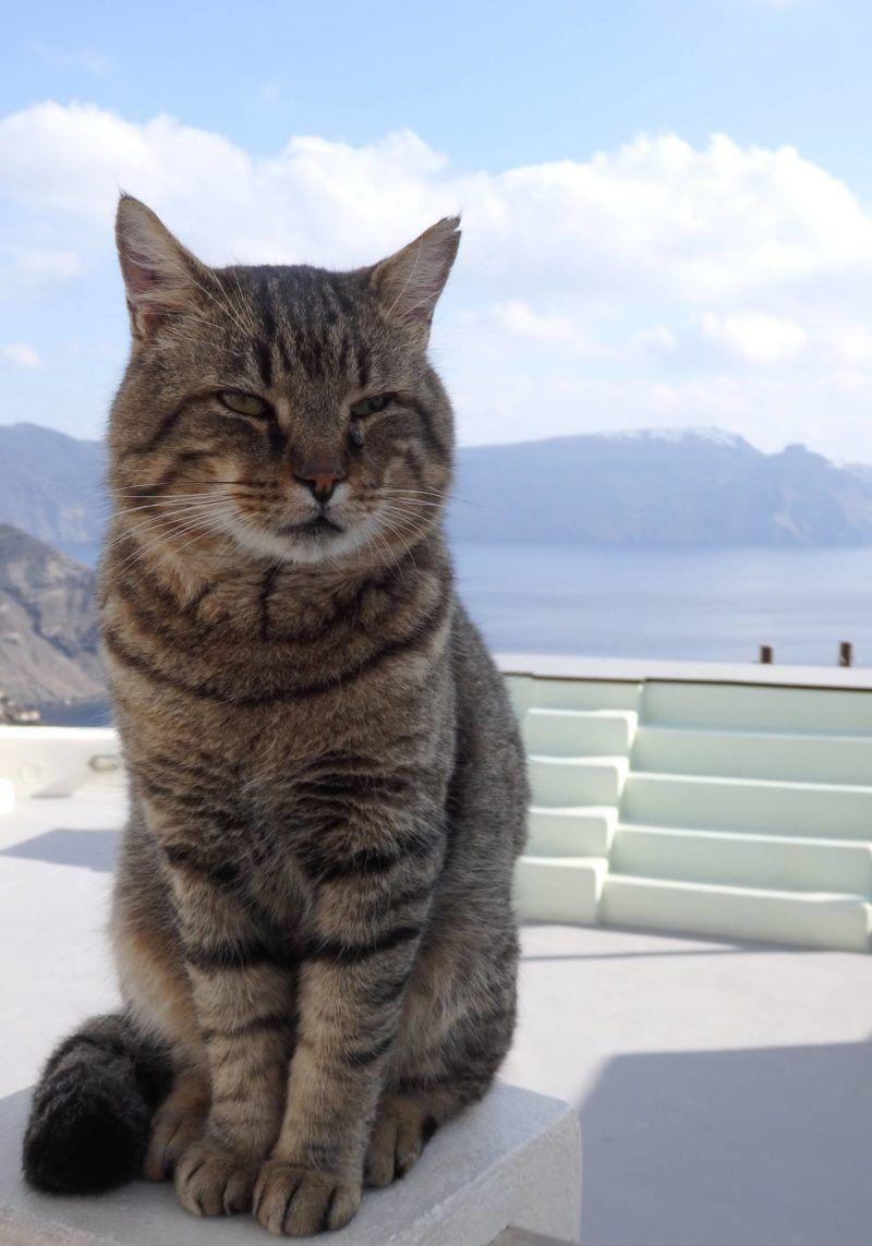 2 Nights In Santorini Greece Cute Cats Cats Super Cute Animals