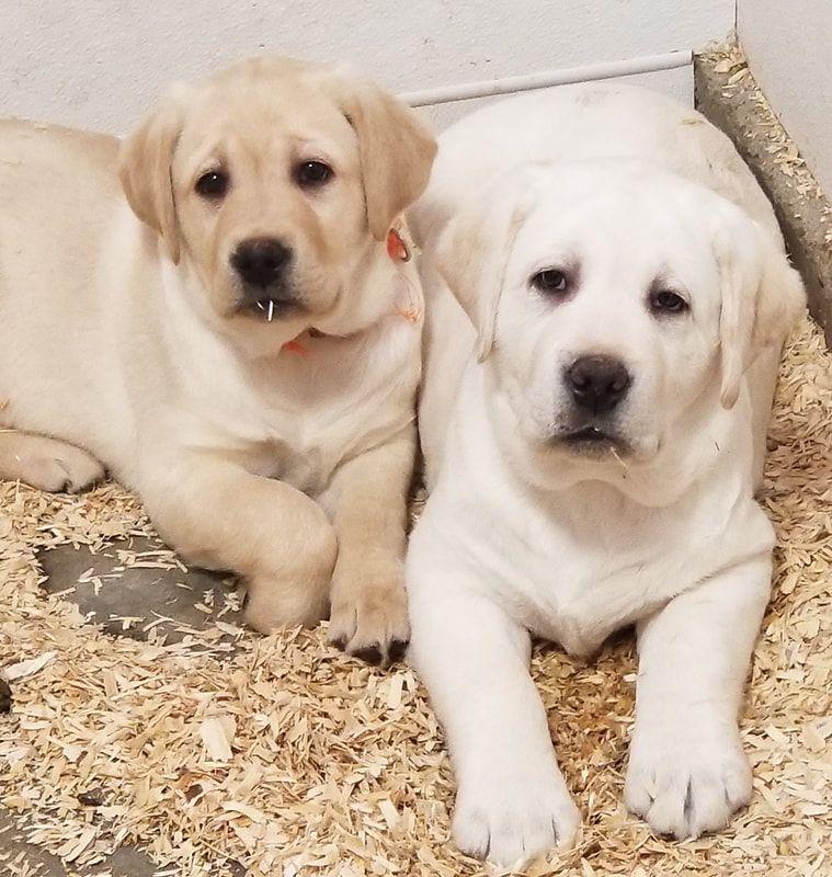 Dark Fox Red Working Labradors Labrador Puppies For Sale Labrador Puppy Labrador