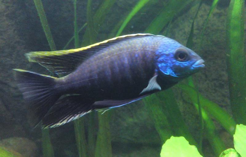 Blauer Buntbarsch