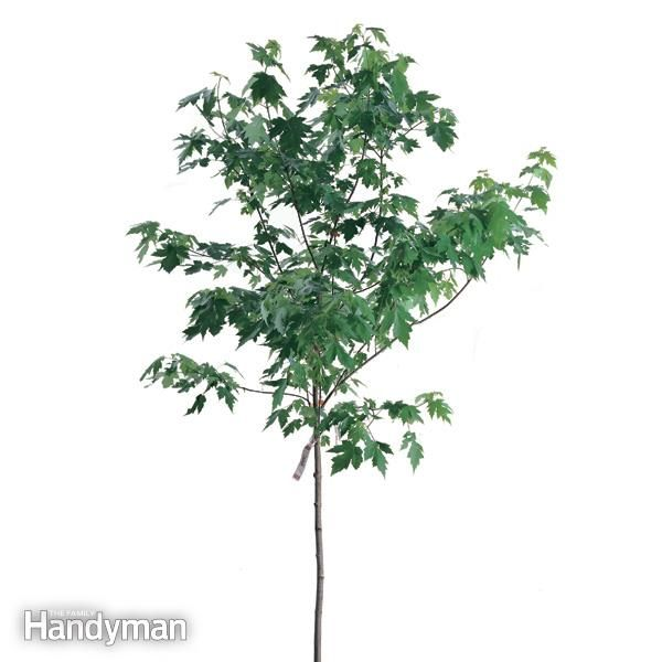 sapling trees - Google 検索