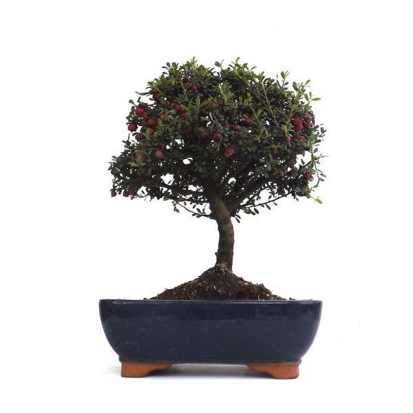 vente de bonsai cotoneaster 30 cm 140901 sankaly bonsa achat vente de bonsa et accessoires. Black Bedroom Furniture Sets. Home Design Ideas