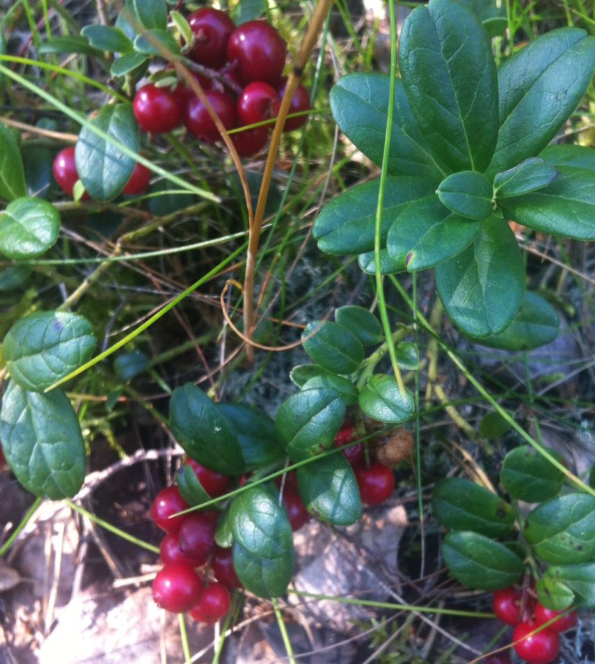 lingonberries--acid loving groundcover and good companion to blueberries