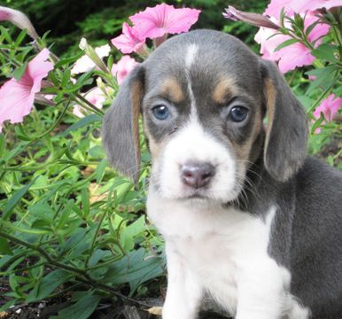 Beagle Puppy For Sale In Womelsdorf Pa Adn 35267 On Puppyfinder