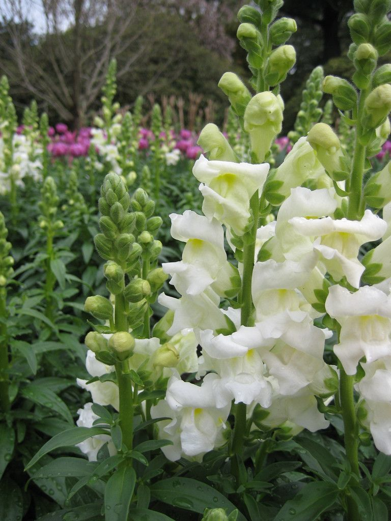 Snapdragon White Liberty Series Products Pinterest Perennials