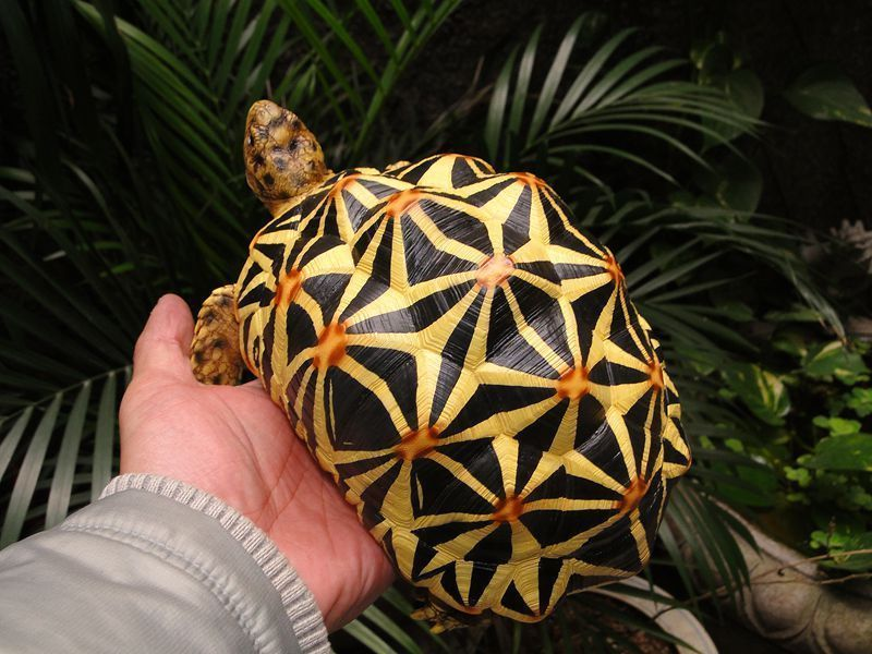 1:1 Life Size Large Star Tortoise Resin Replica Model Figurine US $189.99 New in Collectibles, Animals, Amphibians & Reptiles