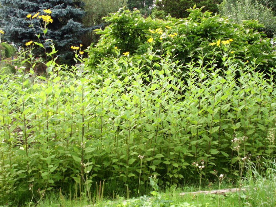 Topinambur Gartenbob De Der Garten Ratgeber In 2020 Topinambur Pflanzen Topinambur Pflanzen
