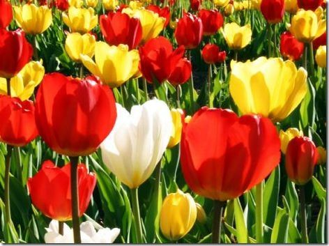 Netherlands Unofficial National Flower The Tulip Is A Perennial Bulbous Plant With Showy Flowers In The Genus Tulipa Bulbous Plants Flowers Showy Flowers