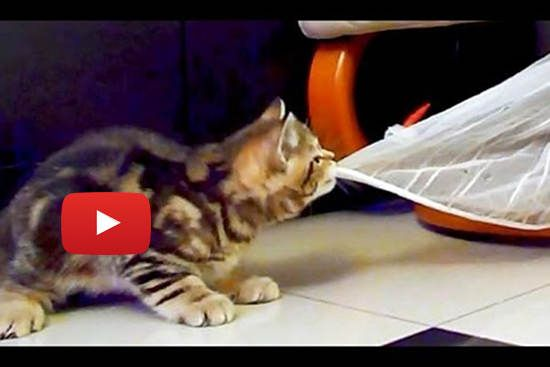 Kitty Dances With Curtain Love Meow Cats And Kittens Kittens Funny Cat Vs Dog