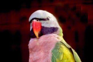 ببغاء البراكيت الوردي تغريد الطيور Parrot Birds Animals