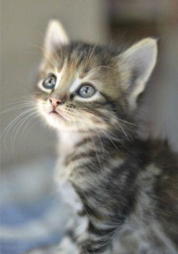 Adorable Cute Grey Tabby Kitten Winnie Kitty Cat Sweet