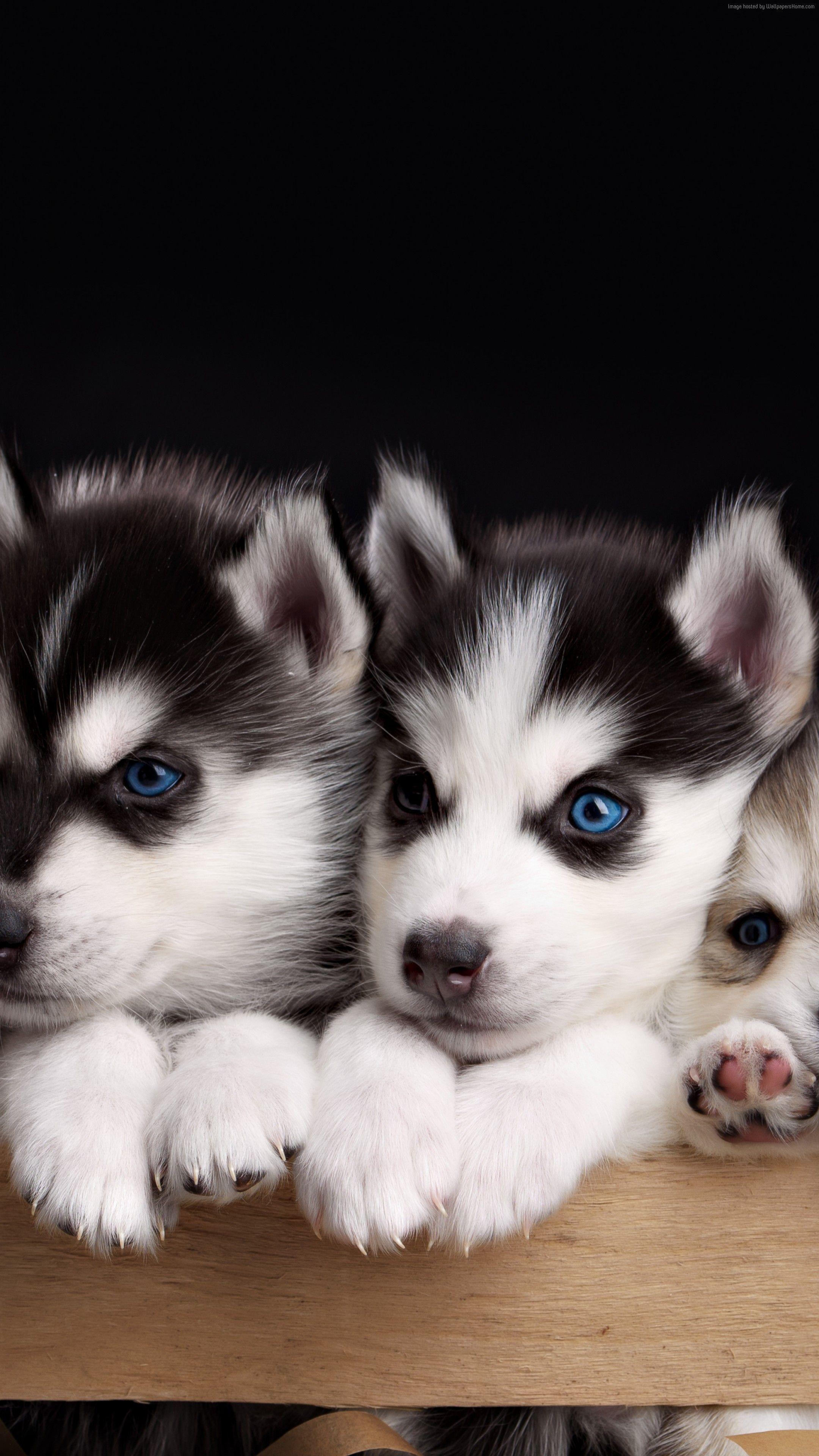 Wallpaper Husky 4k Cute Animals Puppy Cute Puppies Puppies