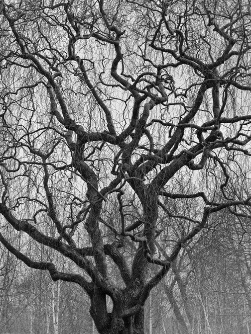 Curly Top Bare Willow Tree In Winter 9x12 40 00 Via Etsy Willow Tree Winter Trees Weeping Willow