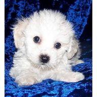 Bichon Pups Champion Line Bay Area Ca A Cute Female Bichon