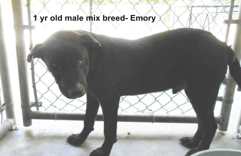 Adopt Emory With Cherry Eye On Irish Water Spaniel Mixed Breed