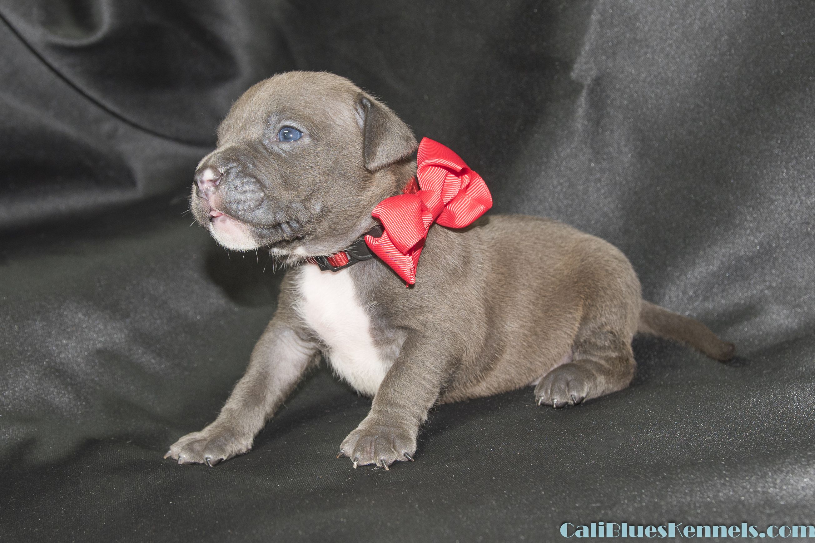Available Pups Caliblueskennels Com American Bullies Pitbull Puppies American Kenne Bully Pitbull American Bully Pitbull Pup