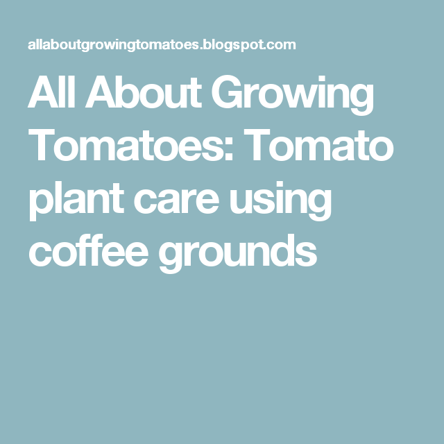 All About Growing Tomatoes: Tomato plant care using coffee grounds