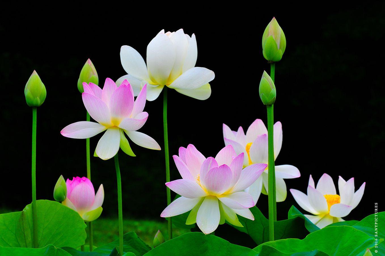 Most beautiful lotus flowers kenilworth aquatic gardens washington most beautiful lotus flowers kenilworth aquatic gardens washington dc most beautiful lotus flowers kenilworth aquatic izmirmasajfo